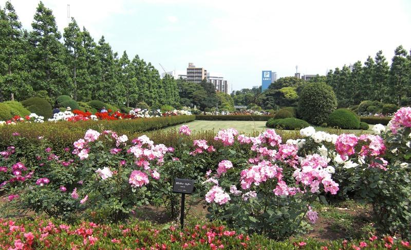 新宿御苑の夏バラ