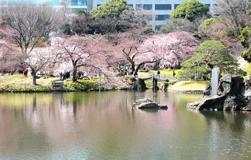 小石川後楽園のシダレザクラ