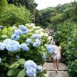 あじさい咲く季節の鎌倉ハイキング